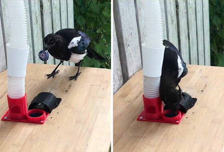 Magpie With Bottle Cap