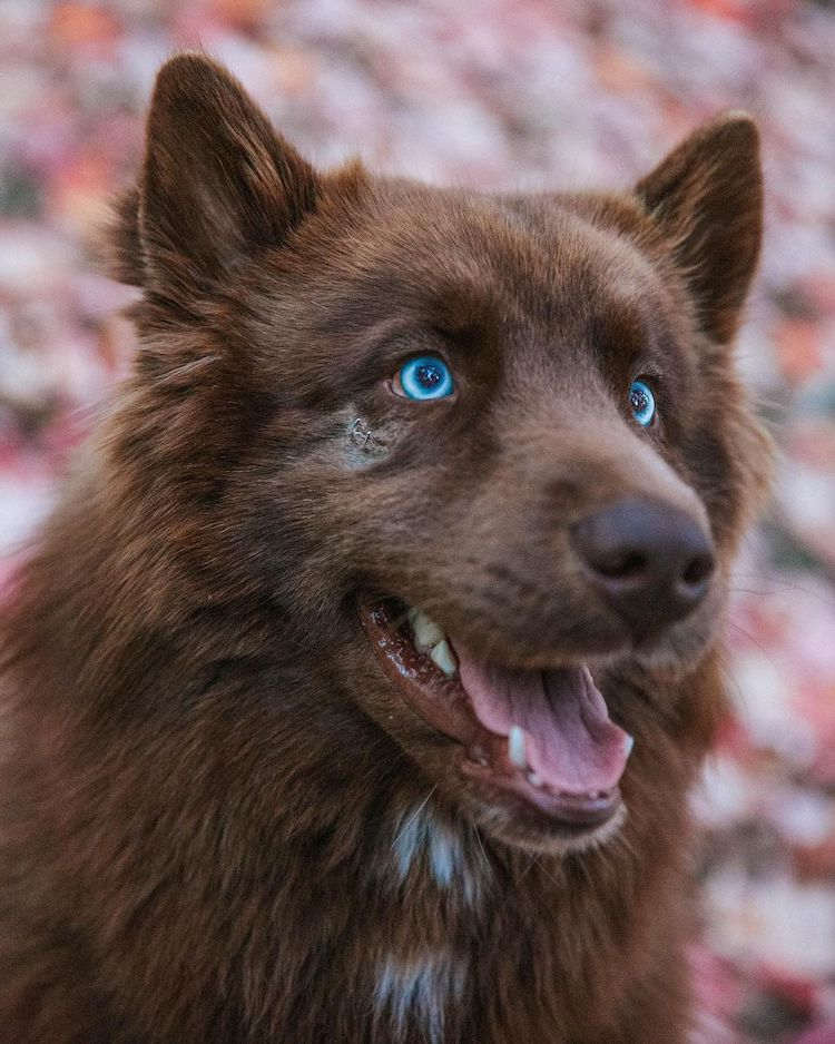 Chocolate Brown Siberian Husky Mister SeQuoi
