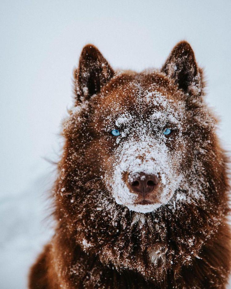 Husky de Sibérie brun Mister SeQuoi