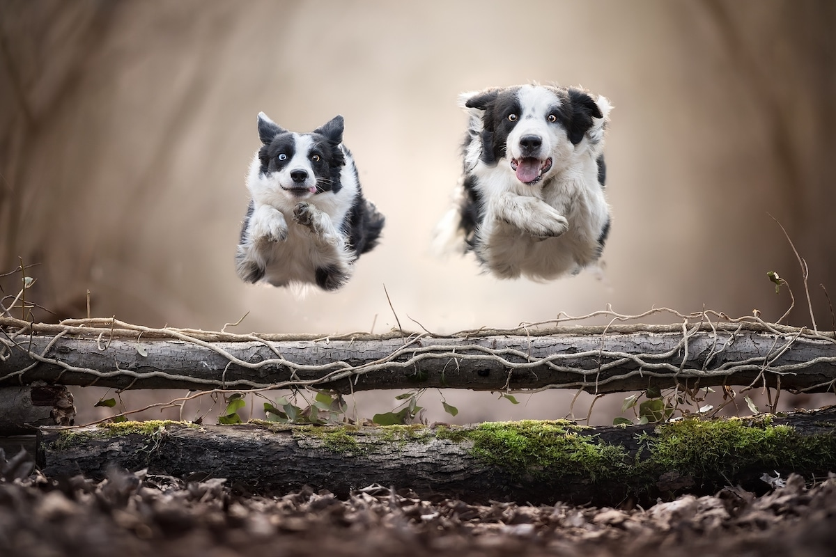 Two Dogs Simultaneously Jumping Over a Log
