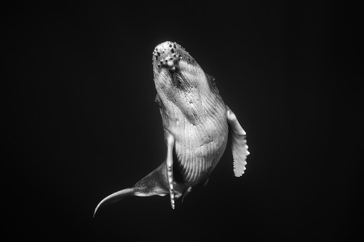 Jem Cresswell Giants Book Humpback Whale Portraits