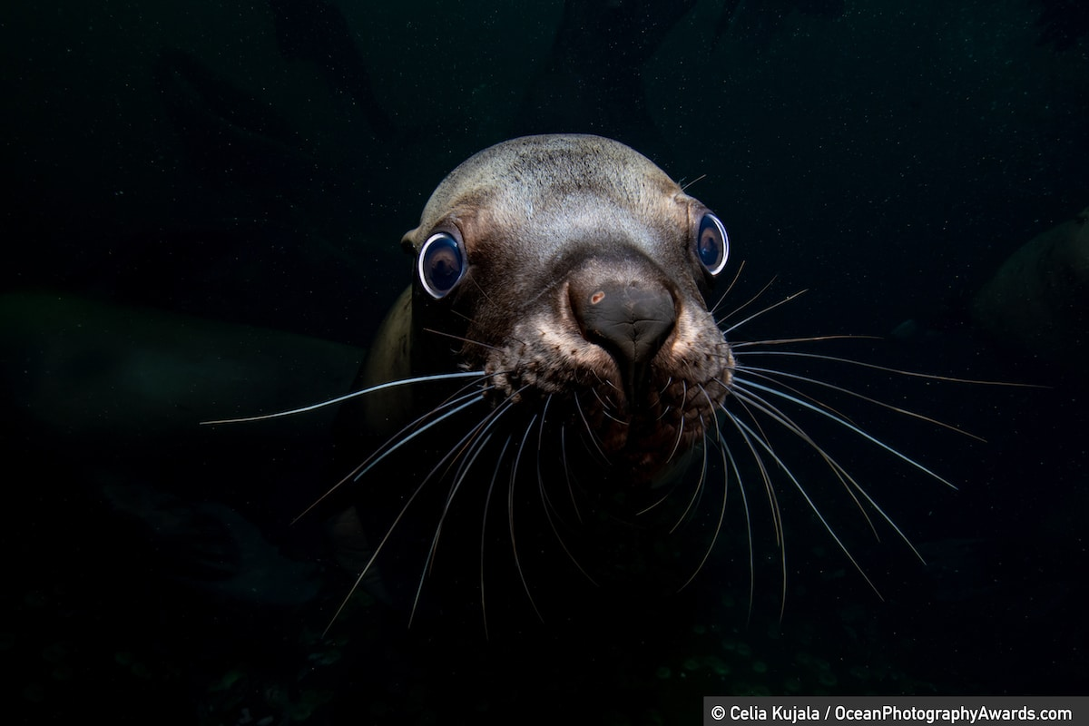 Portrait of a Steller Sea Lion