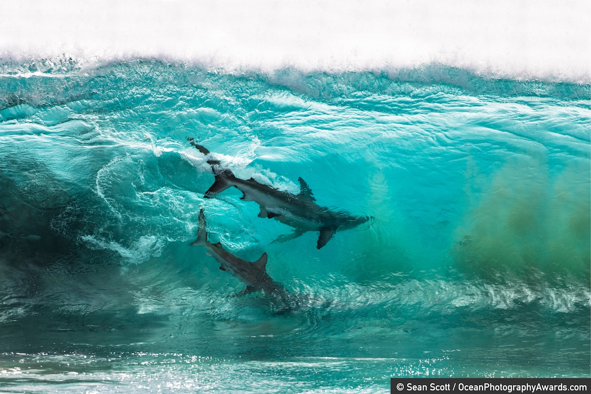 Two Sharks Surfing a Wave in Australia