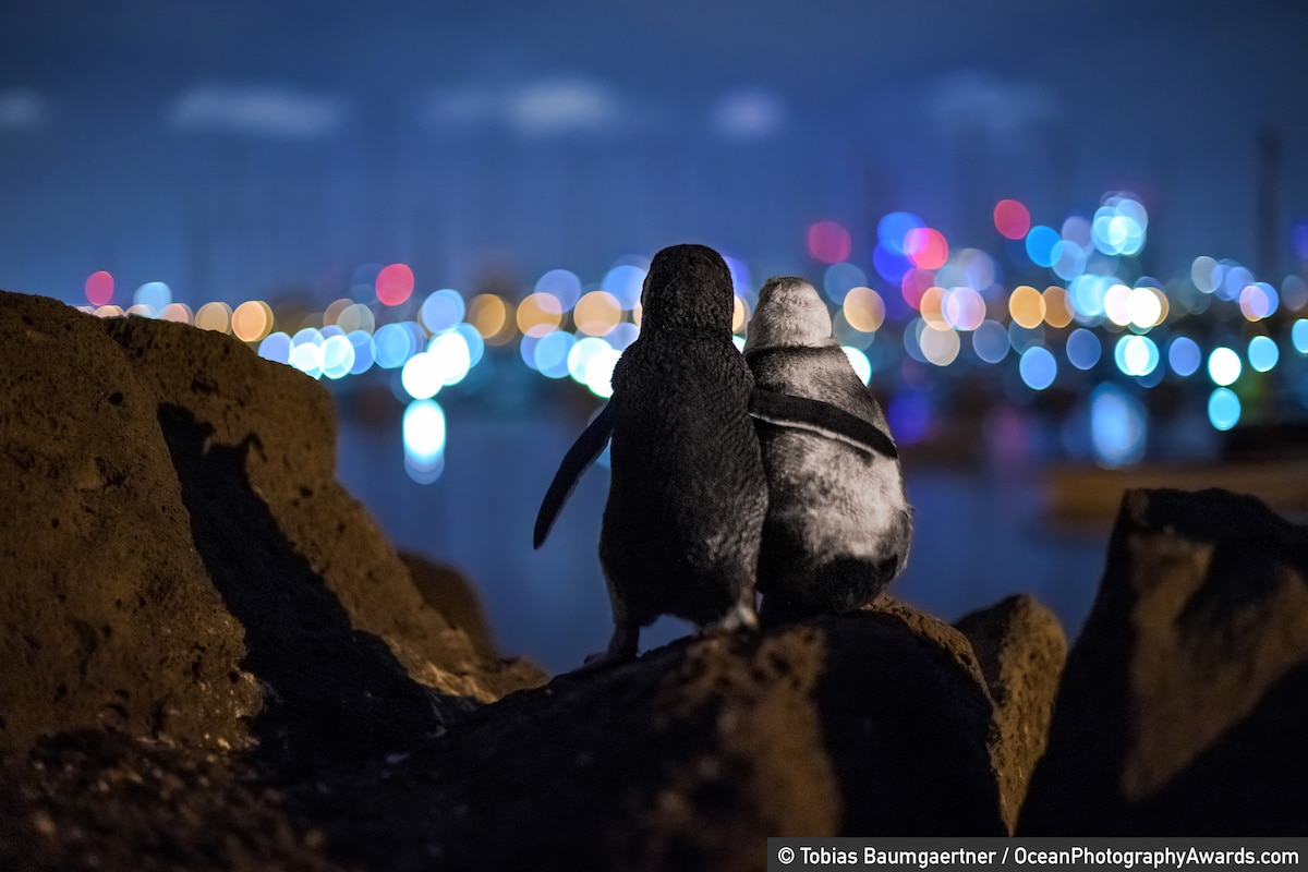 Two widowed penguins seemingly comfort one another
