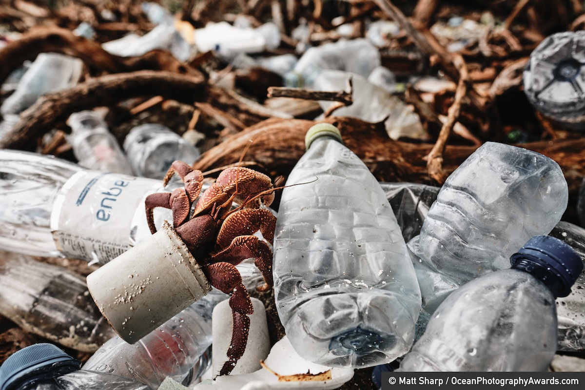 Hermit Crab Climbing Out of Plastic on the Beach