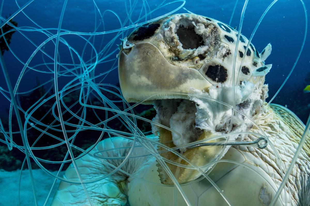 Dead Sea Turtle Hooked to Plastic