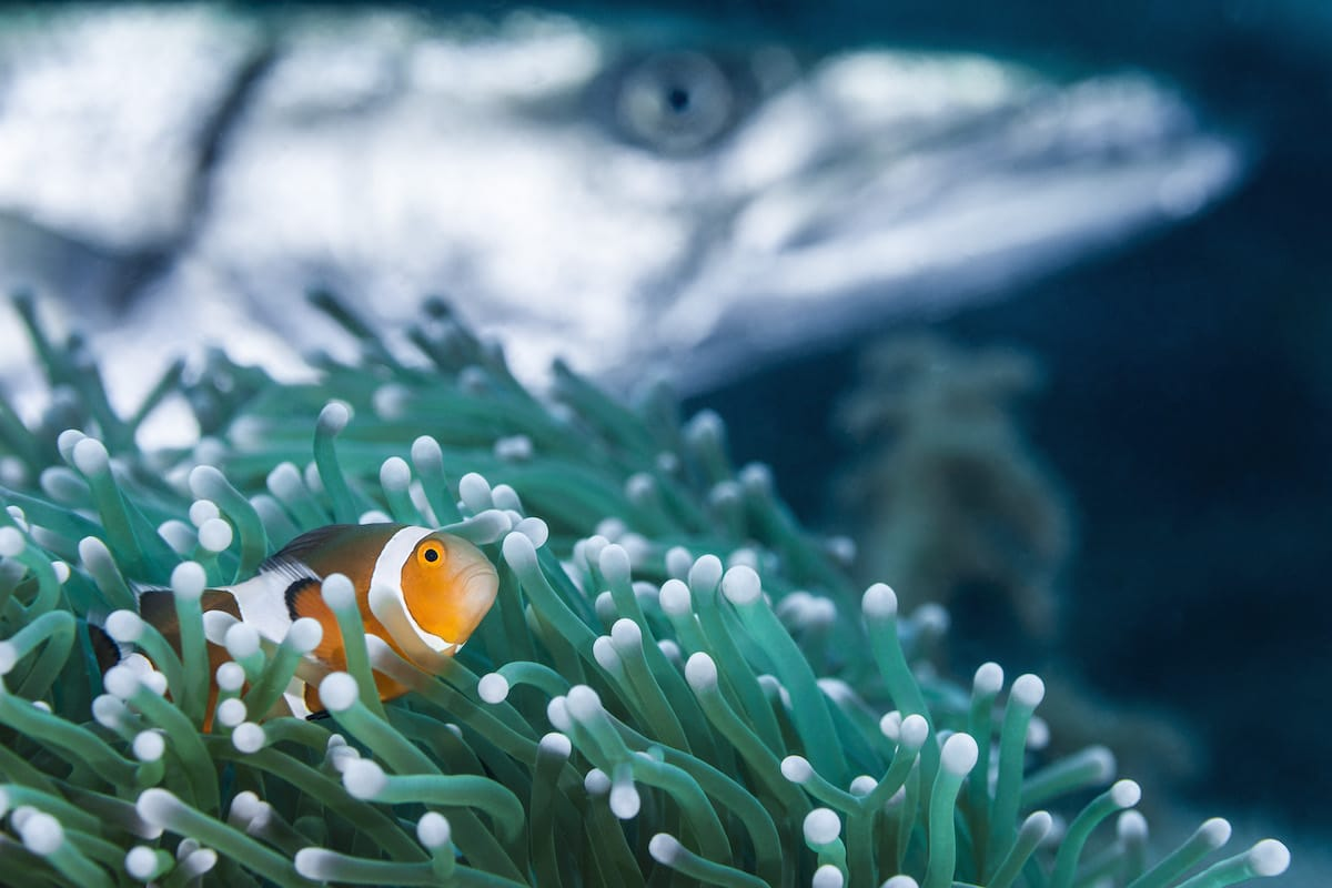 Clown Fish Nestled Into a Plant