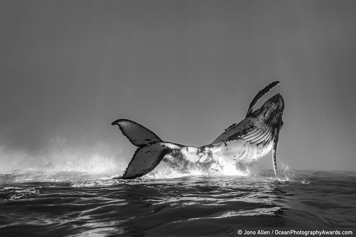 A humpback whale calf jumping out of the water in Tonga