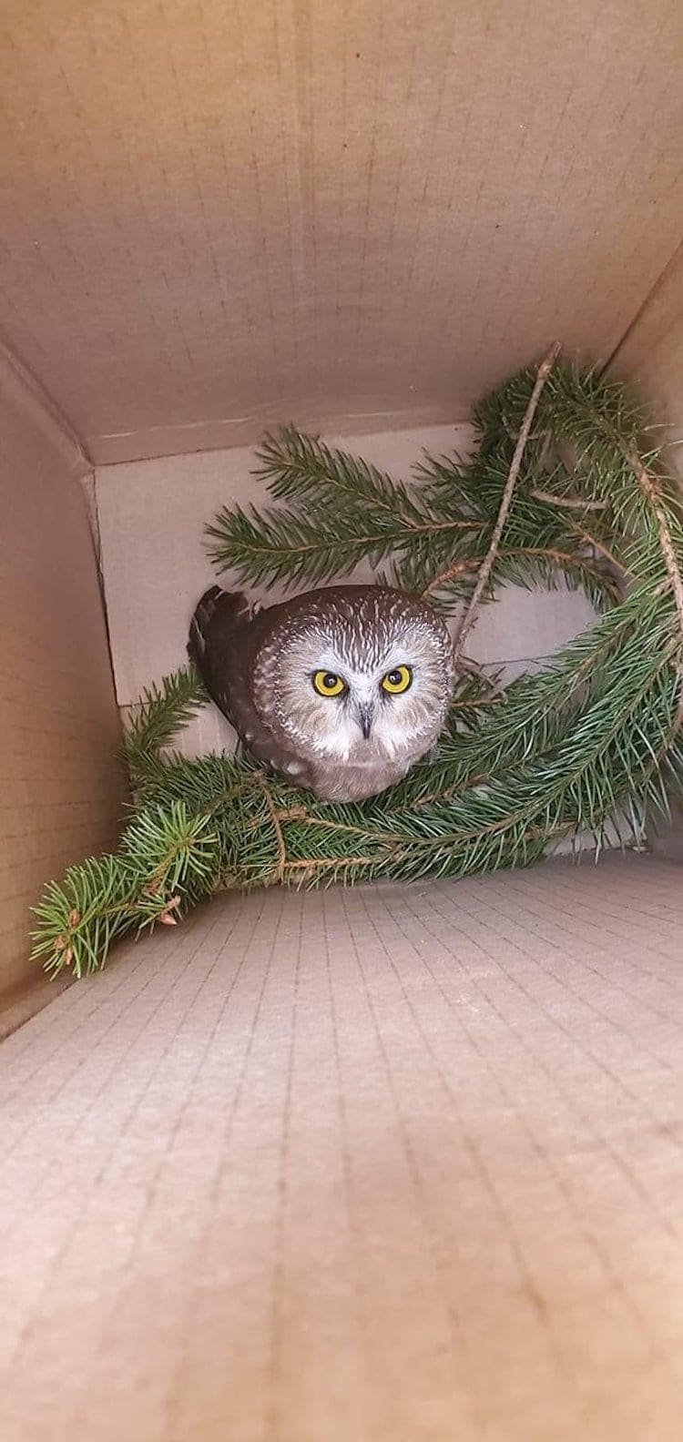 Tiny Owl Rescued From Rockefeller Center Christmas Tree