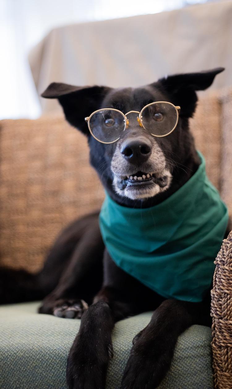 Perros mayores disfrazados de ancianos por la Sociedad Humanitaria Flagler
