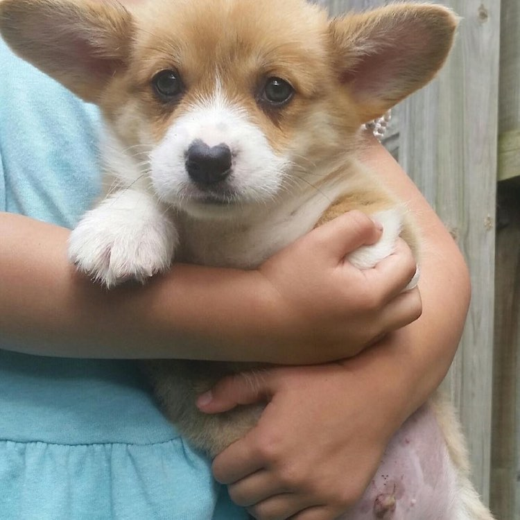 Wallace the Corgi Puppy