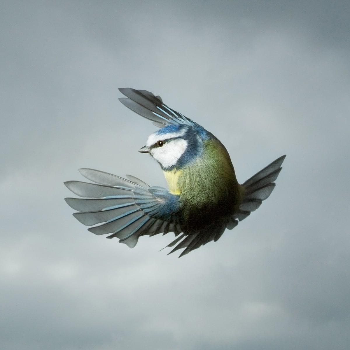 Blue Tit in Flight by Mark Harvey