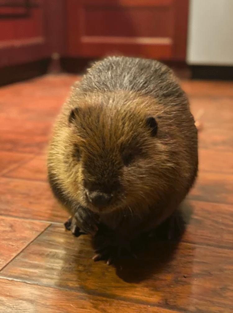 Beave the Beaver