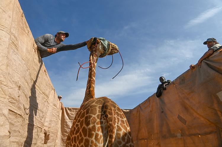 jirafas rescatadas en kenia