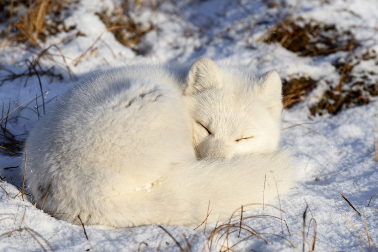 How to Draw a Sleeping Arctic Fox