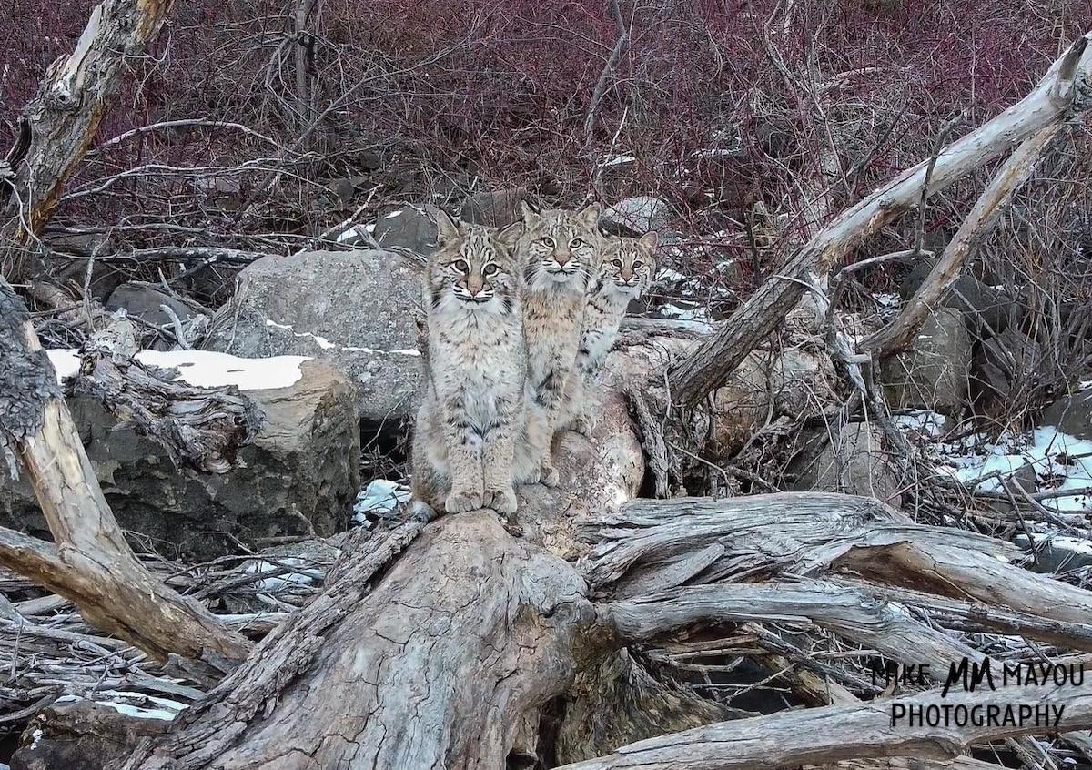 Bobcats Sitting on a Log