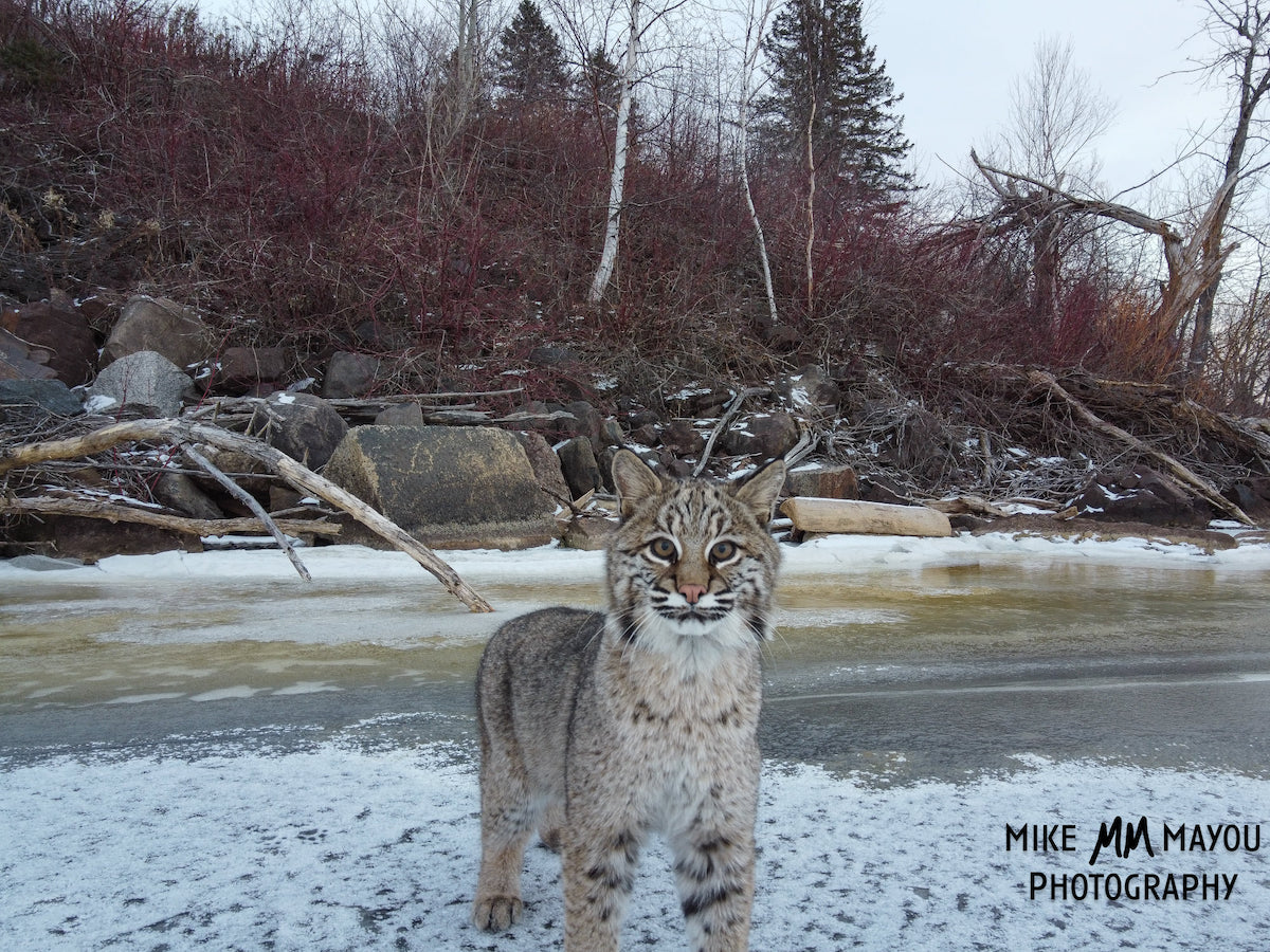 Bobcat in Wilderness