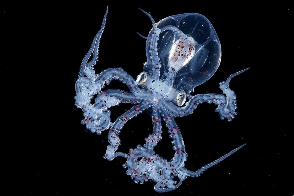 Octopus Blackwater Photography Wu Yung-sen