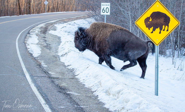 Photo of Bison Using Crosswalk by Tim Osborne