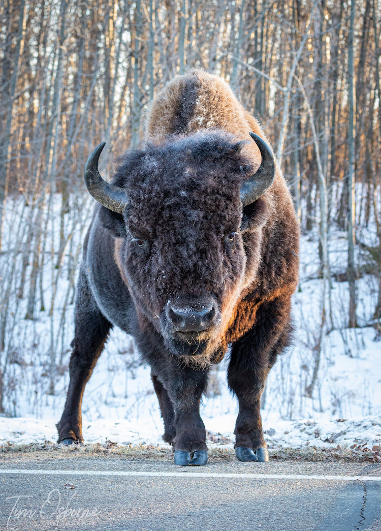 Bison at Edge of Road Wildlife Photography by Tim Osborne