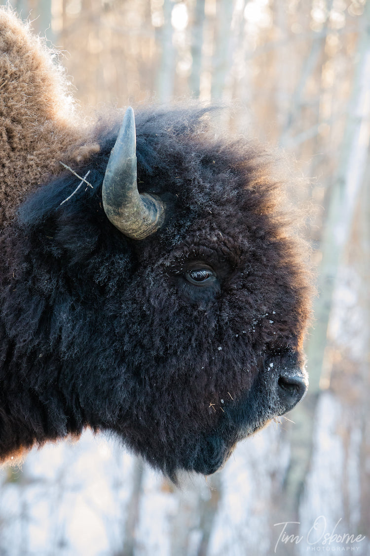 Tim Osborne Bison Wildlife Photography