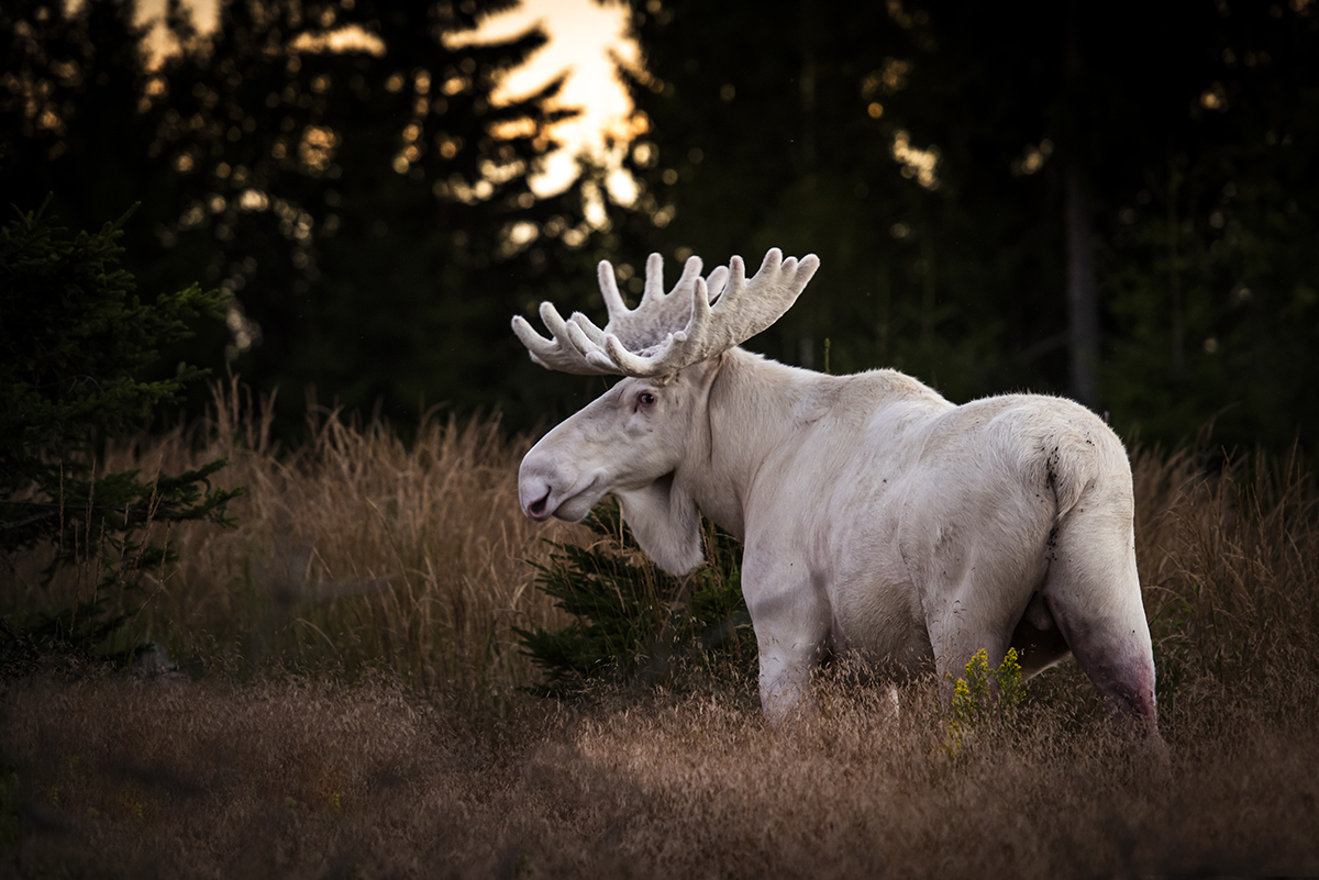 White Moose in Sweden Roger Brendhagen