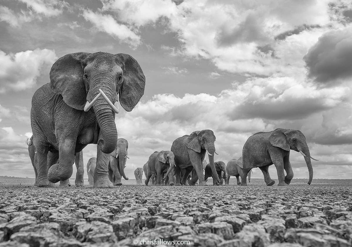 Wildlife Elephant Photography by Chris Fallows