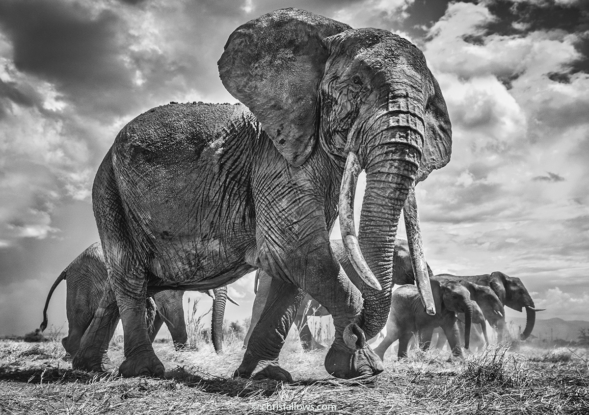 Black and White Photography of Elephants by Chris Fallows