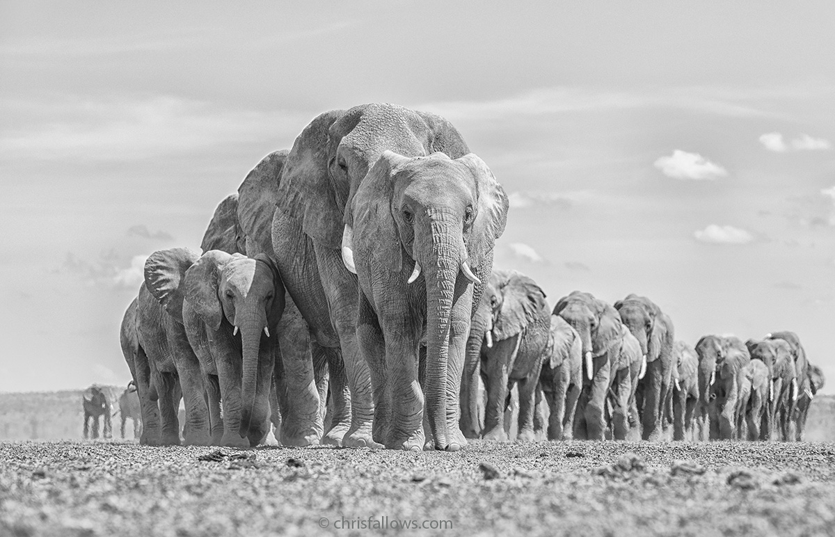 Black and White Photography of Elephants
