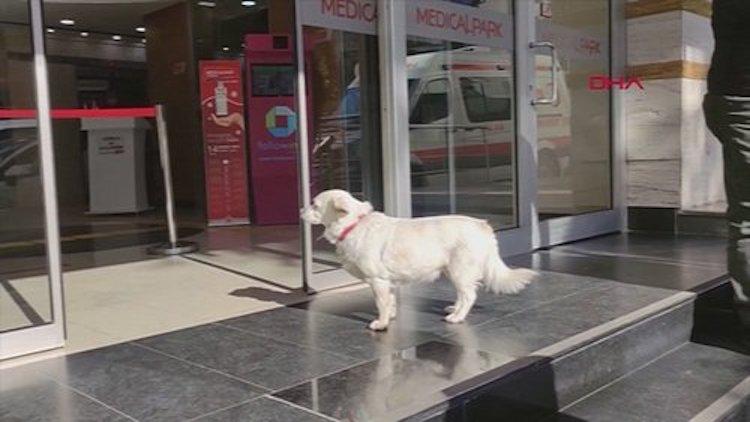 Perro leal espera a su dueño enfermo fuera del hospital