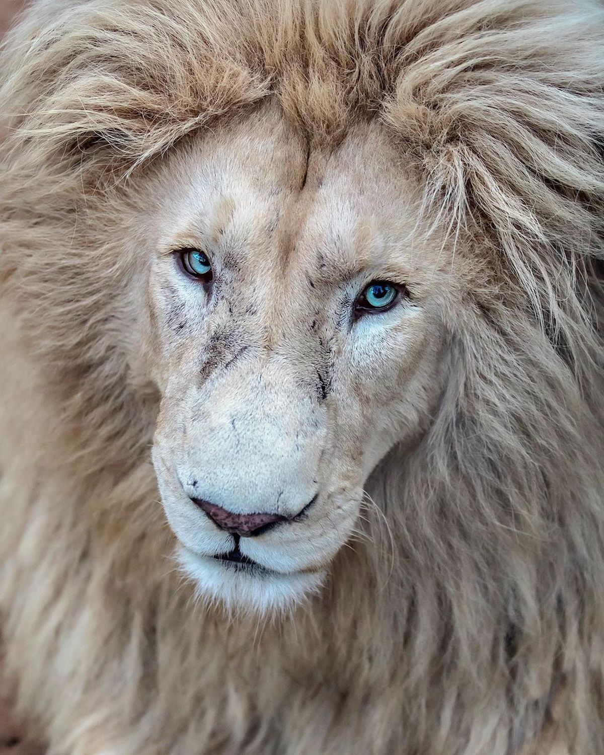 Lion Photographs by Simon Needham