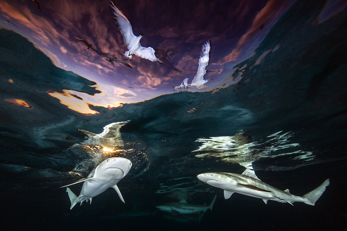 Underwater Photographer of the Year 2021 Award Winners Renee Capozzola Reef Sharks