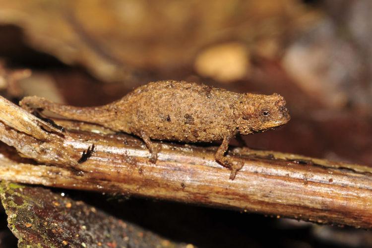 Brookesia Nano Chameleon