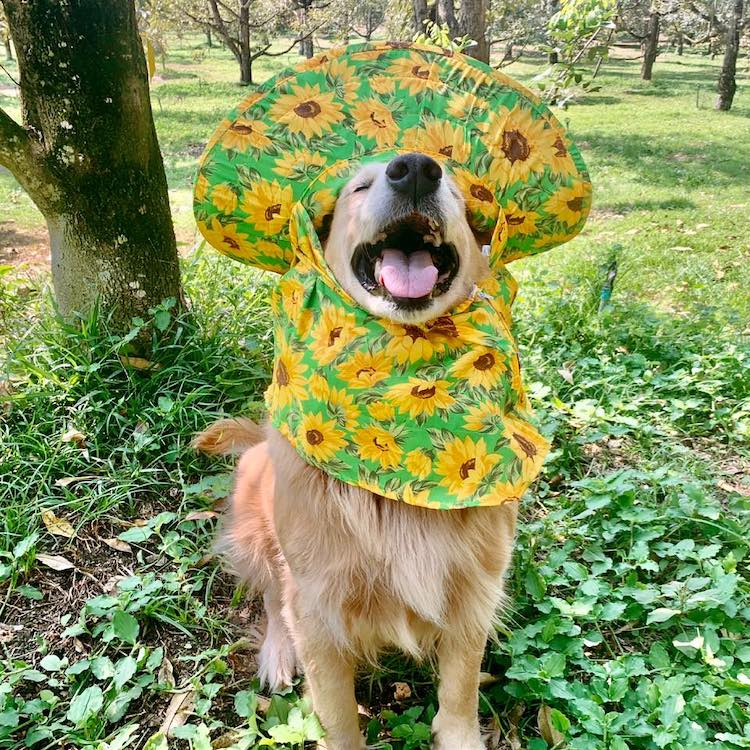 Jubjib the Golden Retriever Durian Harvest Dog in Thailand