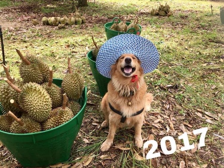 JubjiJubjib the Golden Retriever Durian Harvest Dog in Thailandb the Golden Retreiver Durian Harvest Dog in Thailand