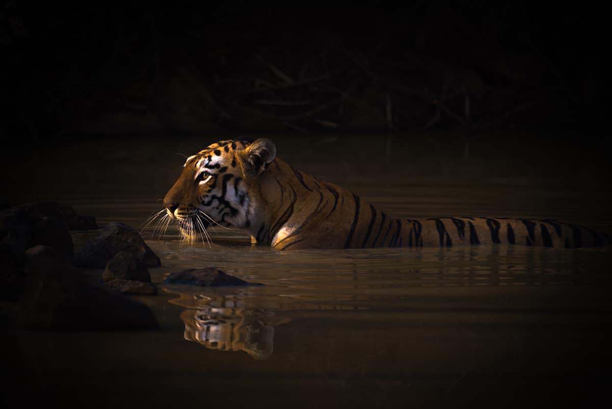 """""""Bath Time"""" by Nick Dale. A bengal tigress"""