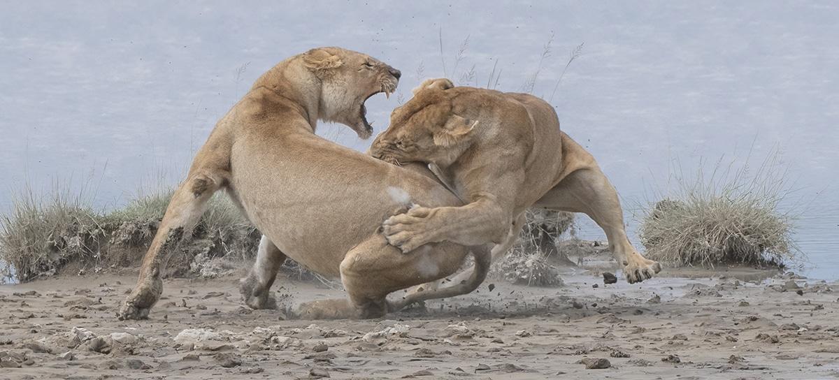 GOLD © Patrick Nowotny Lion Fight