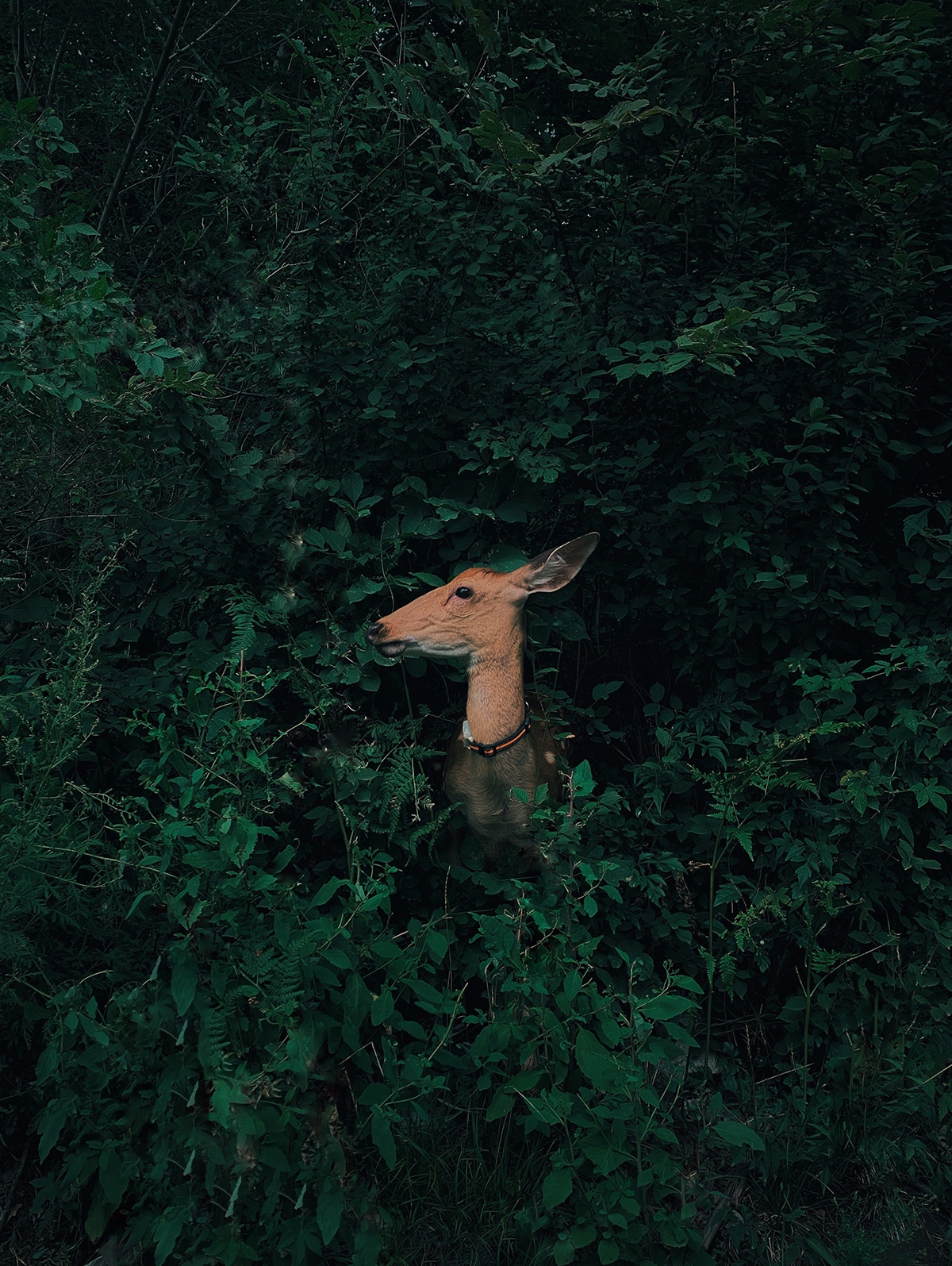 Deer Hidden in the Forest by Jian Cui