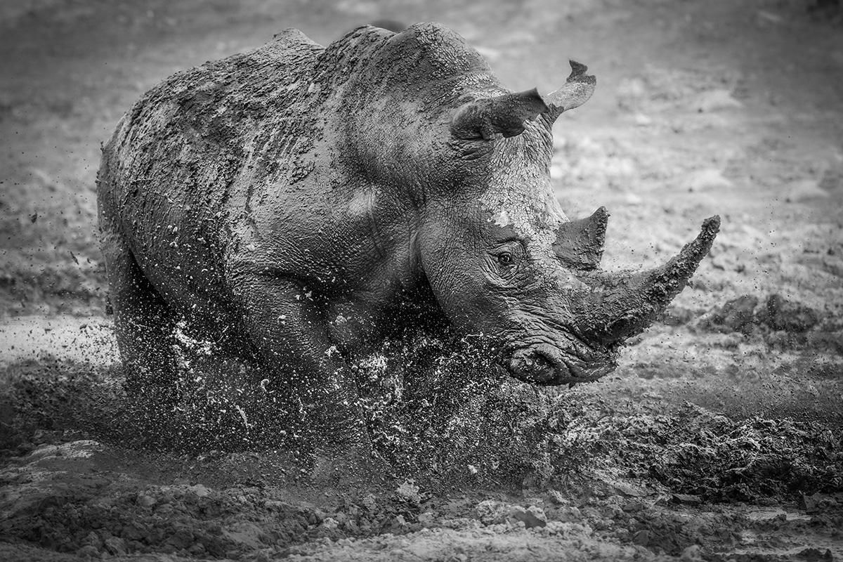 SILVER © Darren Donovan Muddy Rhino