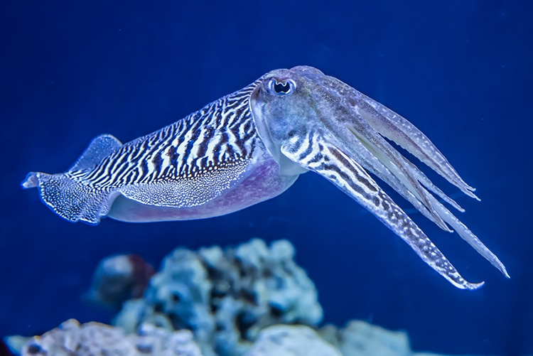 The Common (European) Cuttlefish (Sepia officinalis) Passes Intelligence Cognitive Test For Human Children