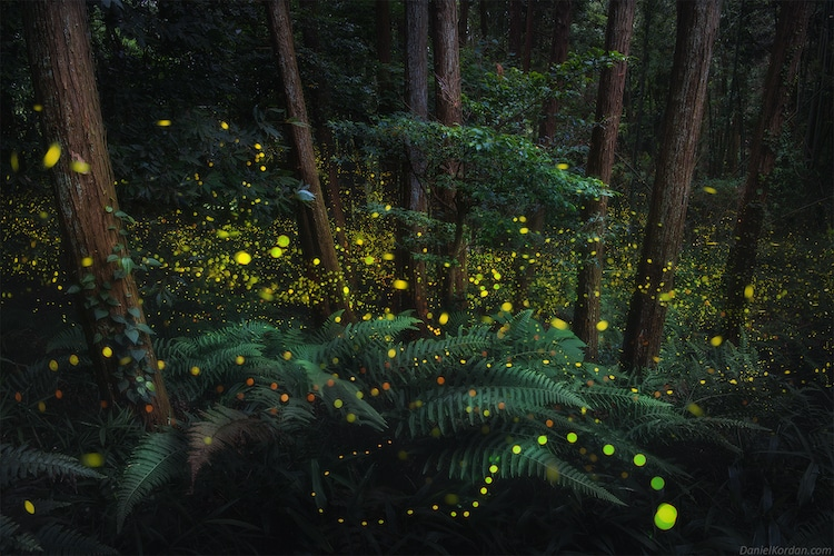 Hotaru: Firefly Season in Japan
