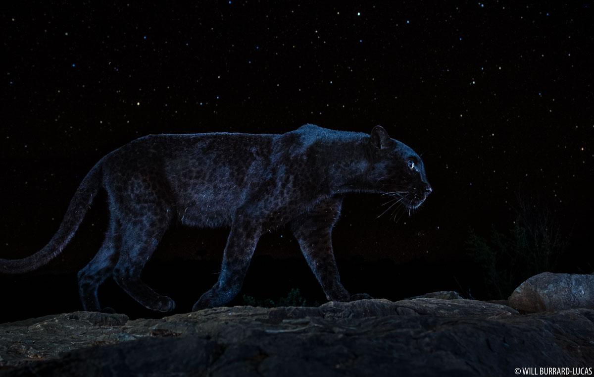 Black Panther Photo