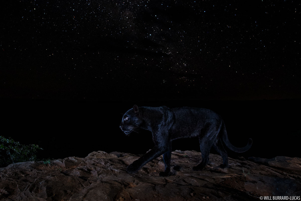 Black Panther Photo by Will Burrard-Lucas