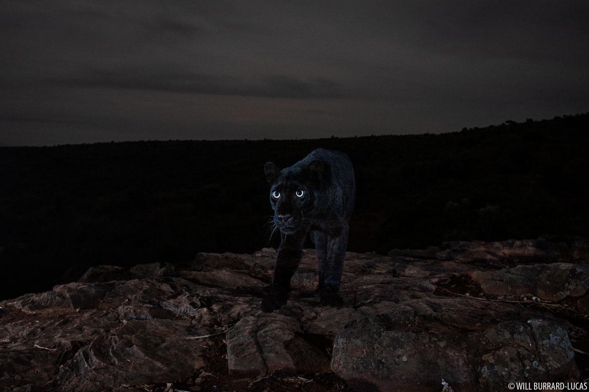 pantera negra bajo las estrellas