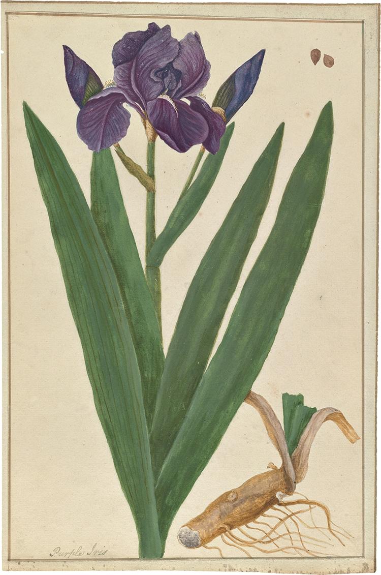 Iris Germanica Watercolor Curious Herbal by Elizabeth Blackwell