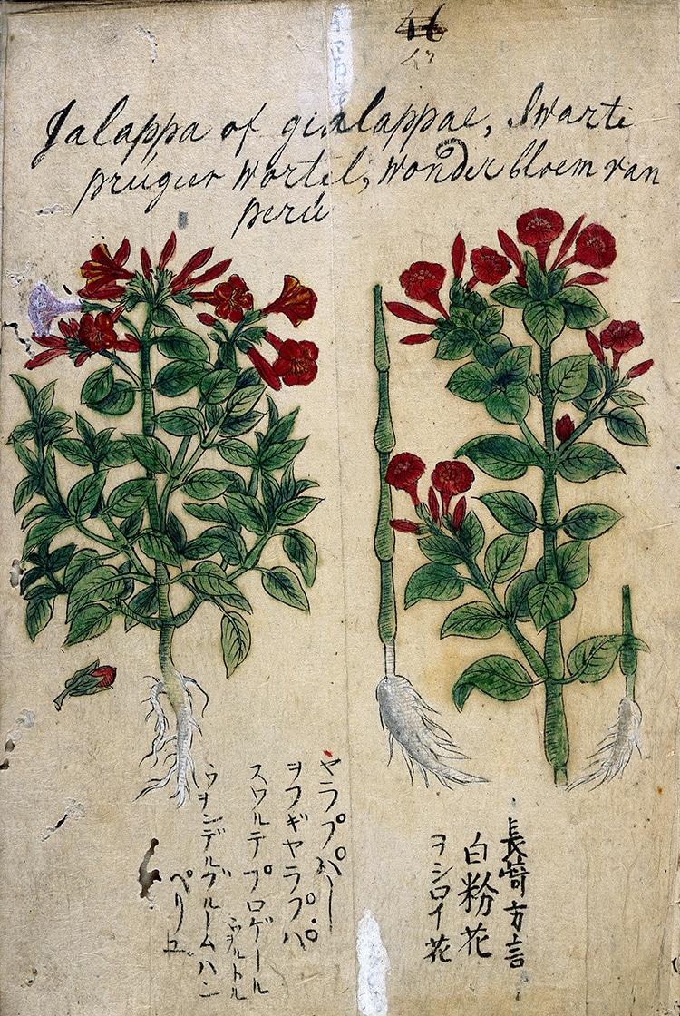 17th Century Japanese Herbal