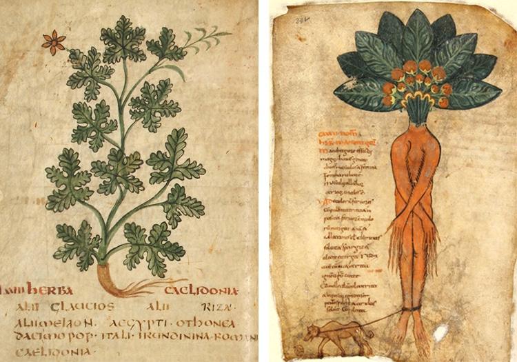Pseudo-Apuleius Herbarius