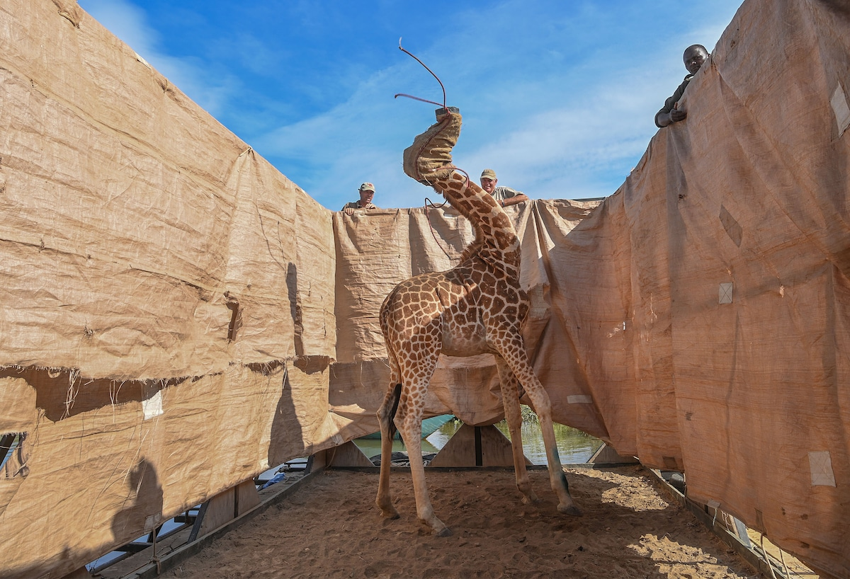 Rothschild's giraffe being transported in Kenya