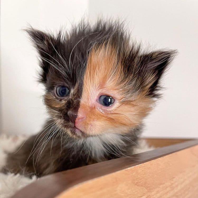 Apricot the Chimera Kitten