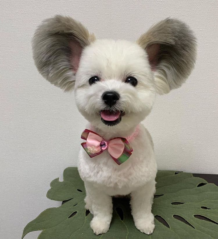 Goma the Mickey Mouse Dog